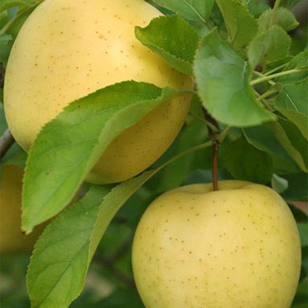 Яблоня поздняя