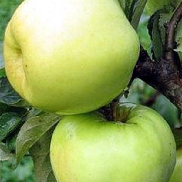 Яблоня осенняя
